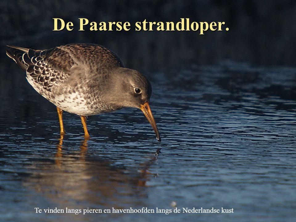 De Paarse strandloper. Te vinden langs pieren en havenhoofden langs de Nederlandse kust