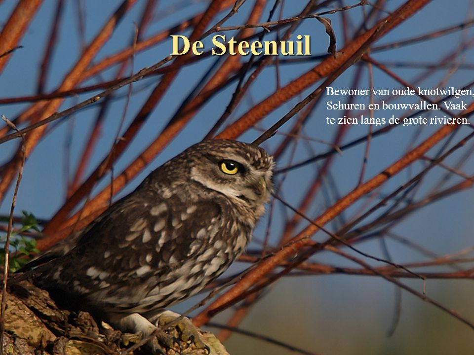 De Steenuil Bewoner van oude knotwilgen, Schuren en bouwvallen.