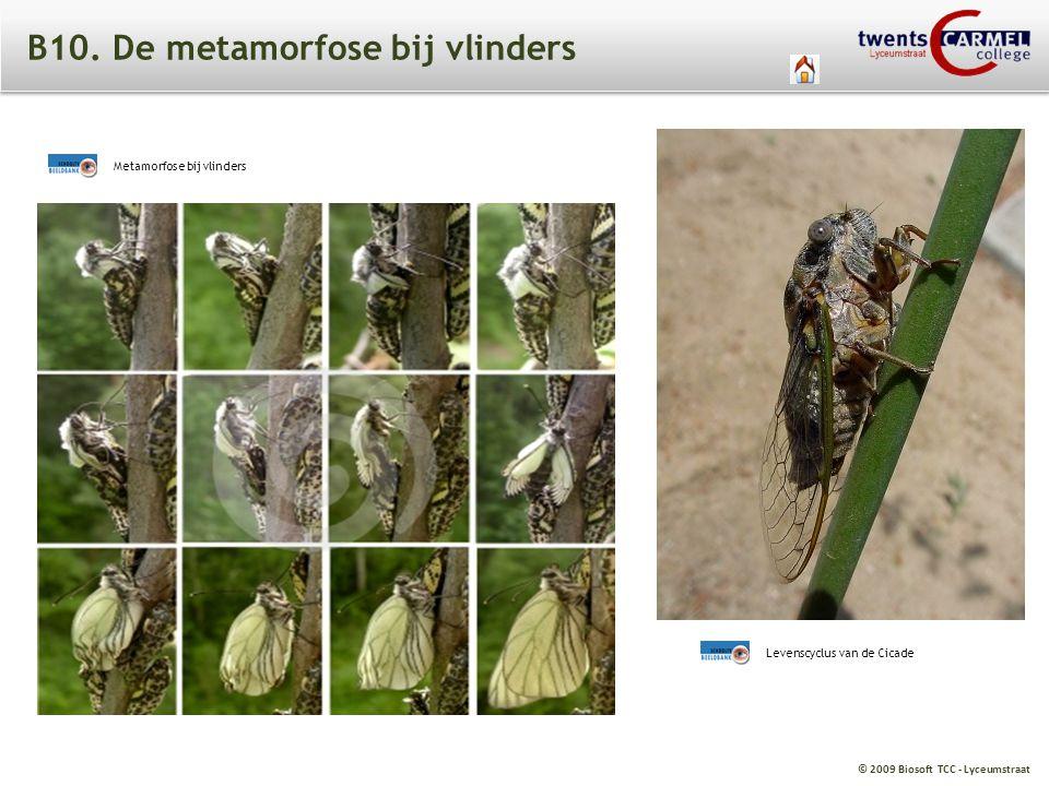 © 2009 Biosoft TCC - Lyceumstraat B10. De metamorfose bij vlinders Metamorfose bij vlinders Levenscyclus van de Cicade