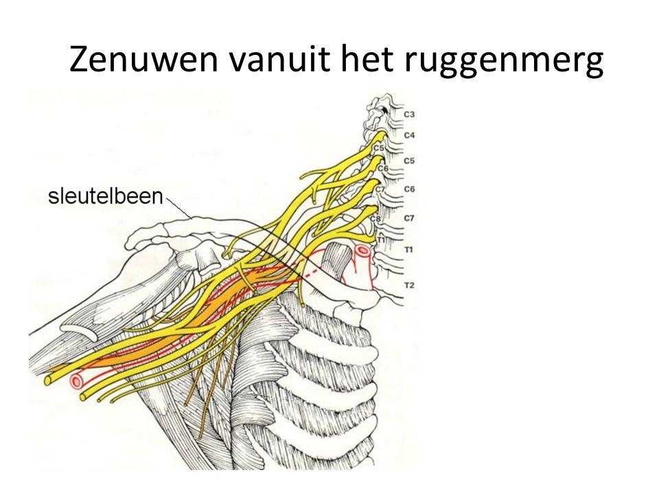 Werking CZ Prikkel Receptor (zintuig) impuls via conductor (zenuw) Centraal zenuwstelsel impuls via conductor (zenuw) reactie door effector (spier of klier) Prikkel = invloed uit de omgeving van een organisme Impuls = elektrisch signaal