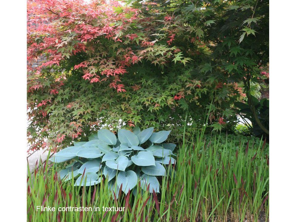 Subtiele kleurvariaties in het blad van de Japanse esdoorns