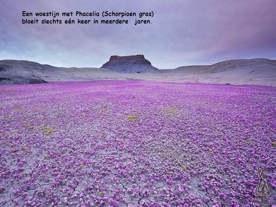 Een woestijn met Phacelia (Schorpioen gras) bloeit slechts eén keer in meerdere jaren.