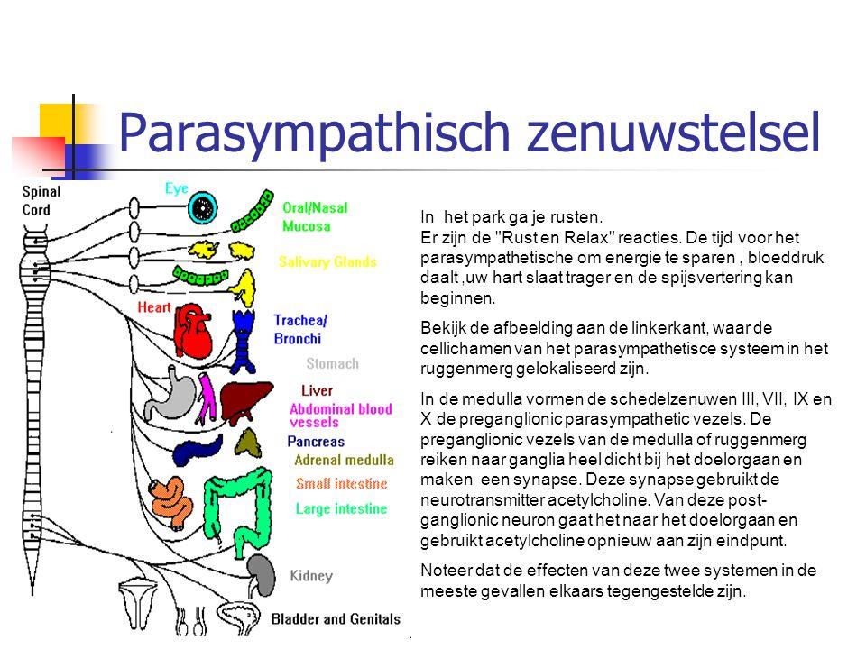 Parasympathisch zenuwstelsel In het park ga je rusten. Er zijn de