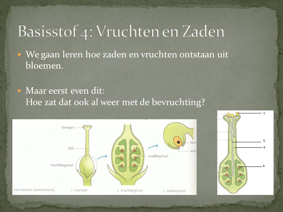 We gaan leren hoe zaden en vruchten ontstaan uit bloemen. Maar eerst even dit: Hoe zat dat ook al weer met de bevruchting?