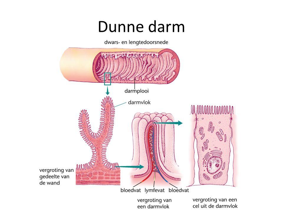 Dunne darm