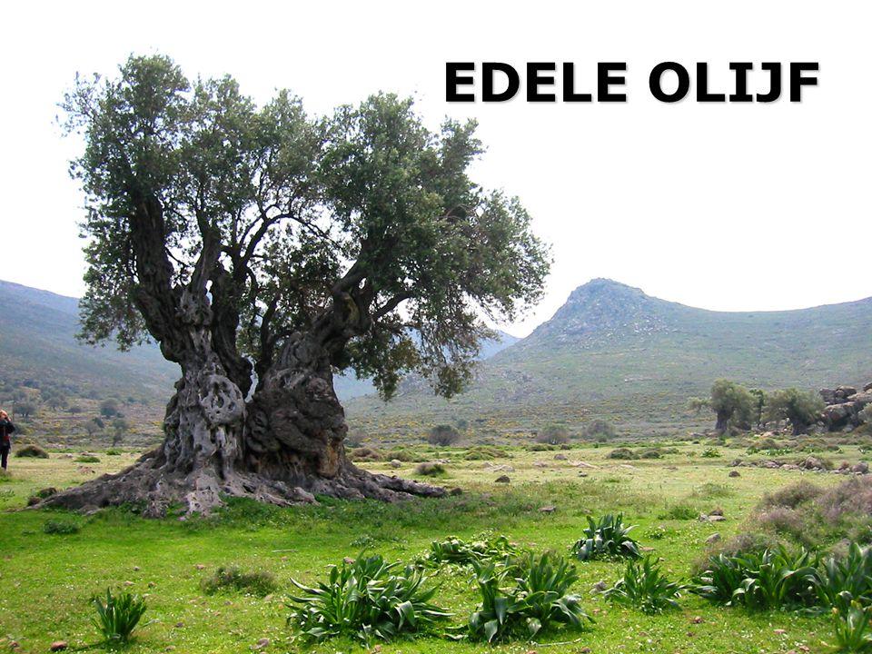 EDELE OLIJF