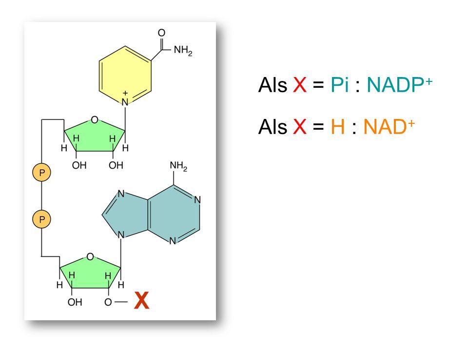 Als X = Pi : NADP + Als X = H : NAD +