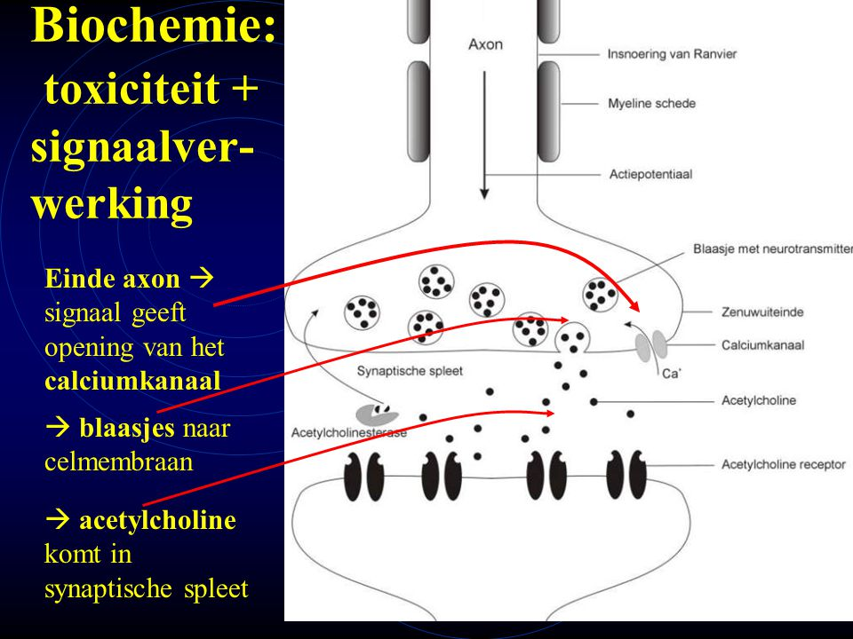 mlavd@BCEC38 Biochemie: toxiciteit + signaalver- werking Einde axon  signaal geeft opening van het calciumkanaal  blaasjes naar celmembraan  acetyl