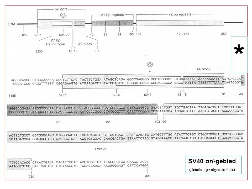 SV40 ori-gebied (details op volgende slide) *