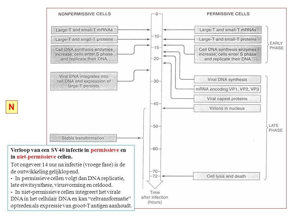 Verloop van een SV40 infectie in permissieve en in niet-permissieve cellen.