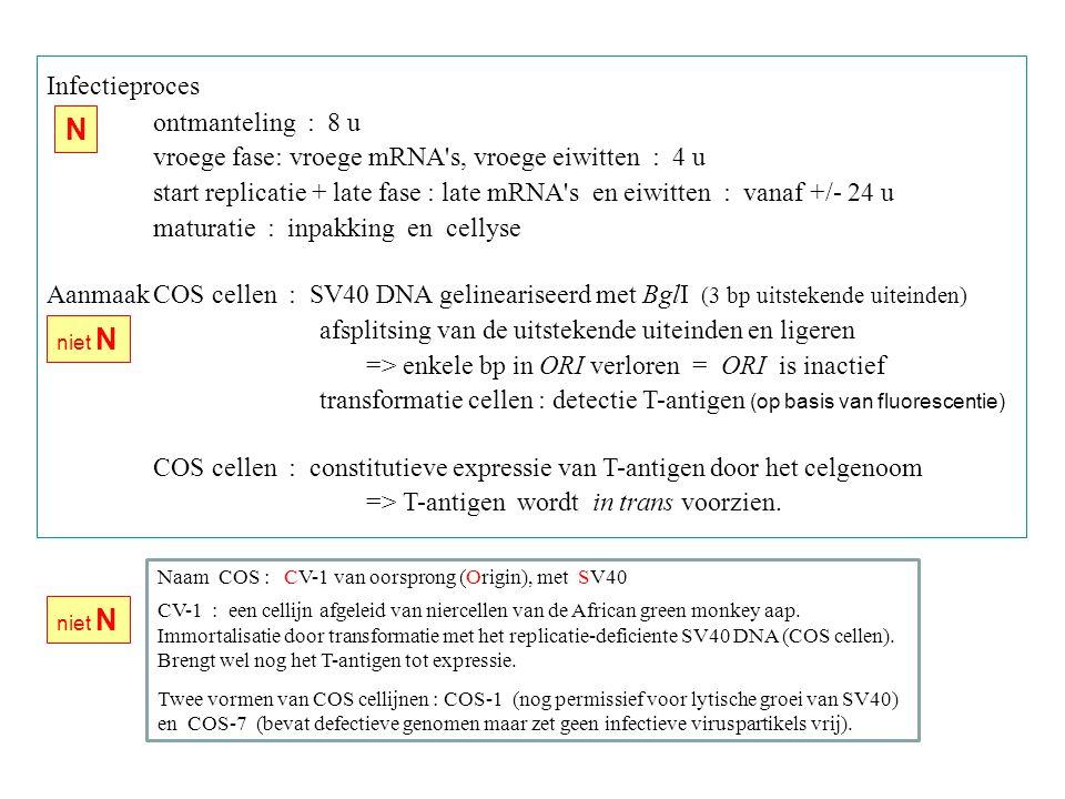 Infectieproces ontmanteling : 8 u vroege fase: vroege mRNA s, vroege eiwitten : 4 u start replicatie + late fase : late mRNA s en eiwitten : vanaf +/- 24 u maturatie : inpakking en cellyse AanmaakCOS cellen : SV40 DNA gelineariseerd met BglI (3 bp uitstekende uiteinden) afsplitsing van de uitstekende uiteinden en ligeren => enkele bp in ORI verloren = ORI is inactief transformatie cellen : detectie T-antigen (op basis van fluorescentie) COS cellen : constitutieve expressie van T-antigen door het celgenoom => T-antigen wordt in trans voorzien.