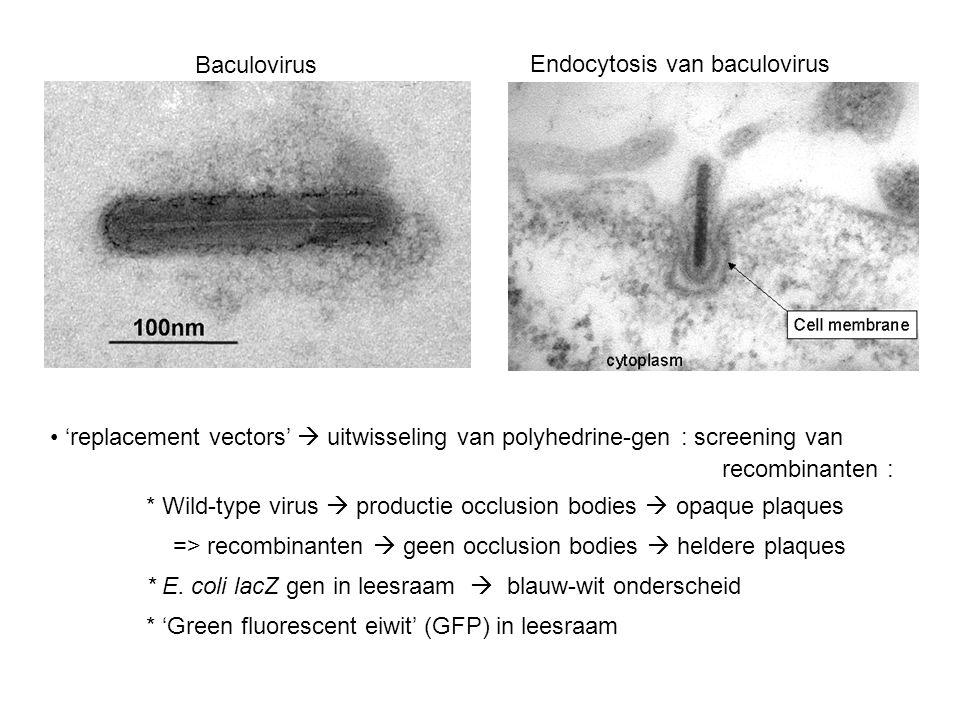 Endocytosis van baculovirus Baculovirus 'replacement vectors'  uitwisseling van polyhedrine-gen : screening van recombinanten : * Wild-type virus  productie occlusion bodies  opaque plaques => recombinanten  geen occlusion bodies  heldere plaques * E.