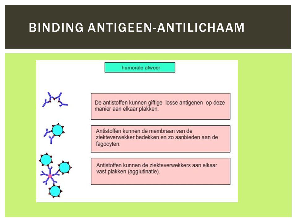  Antigeen (Ag)  Zorgt voor herkenning Lichaamsvreemde stof  Virussen, bacteriën  Antistof (Ab)  immunoglobuline  specifiek 1 Ab op 1 Ag  Polyklonale antistoffen  Monoklonale antistoffen  Binding, Ag-Ab complex  gemaakt door B-cellen HUMORALE (SPECIFIEKE) AFWEER http://www.schooltv.nl/beeldbank/clippopup/20051109_immuumsysteem02