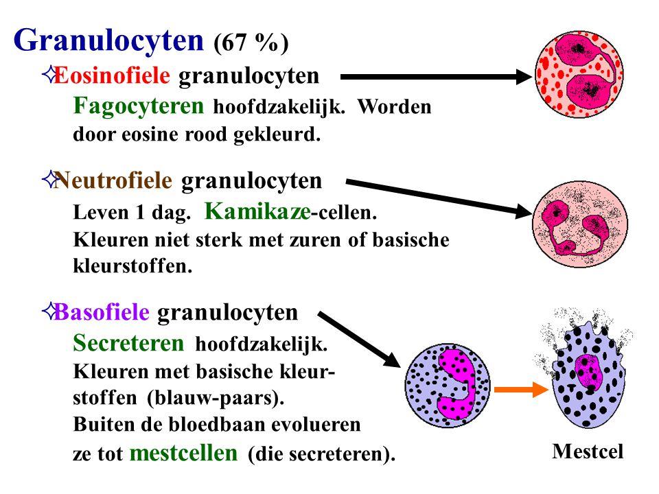 Granulocyten (67 %)  Eosinofiele granulocyten Fagocyteren hoofdzakelijk. Worden door eosine rood gekleurd.  Neutrofiele granulocyten Leven 1 dag. Ka