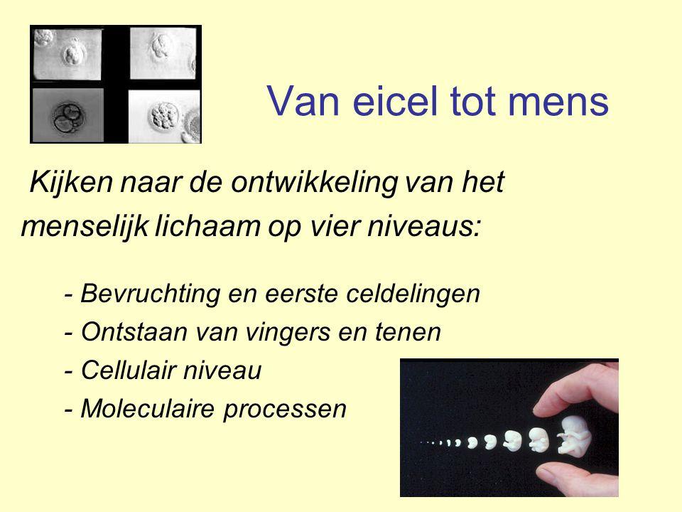 De basis: Het lichaam bestaat uit cellen In 1665 ontdekte Robert Hooke de celstructuur van kurk In 1674 zag Anthonie van Leeuwenhoek voor het eerst een levende cel (alg) De levende cel is de basiseenheid van levende organismen, incl de mens.