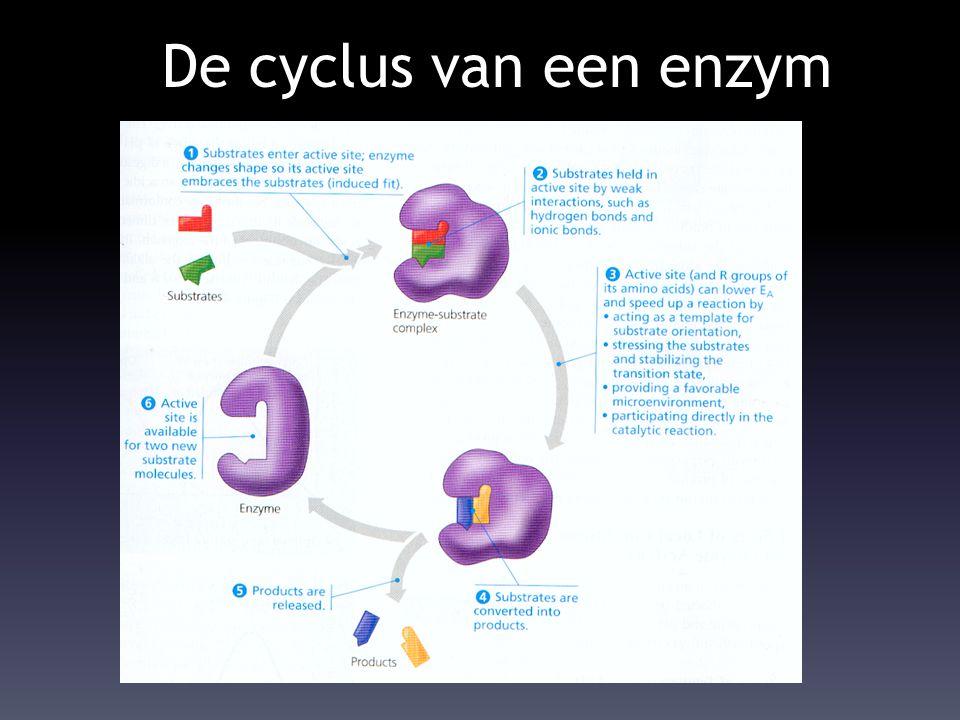 De cyclus van een enzym