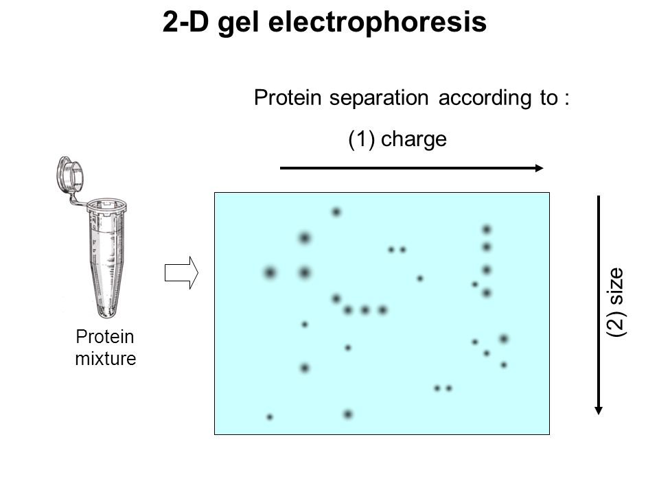 2-D gel electrophoresis (1) charge (2) size Protein mixture Protein separation according to :