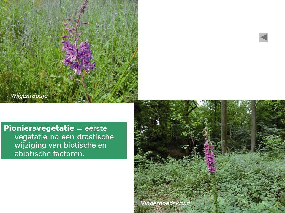 Wilgenroosje Vingerhoedskruid Pioniersvegetatie = eerste vegetatie na een drastische wijziging van biotische en abiotische factoren.