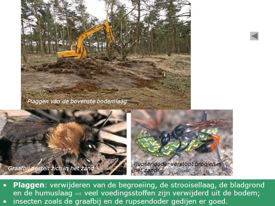Plaggen van de bovenste bodemlaag Graafbij nestelt zich in het zand Rupsendoder verstopt prooien in het zand Plaggen: verwijderen van de begroeiing, d