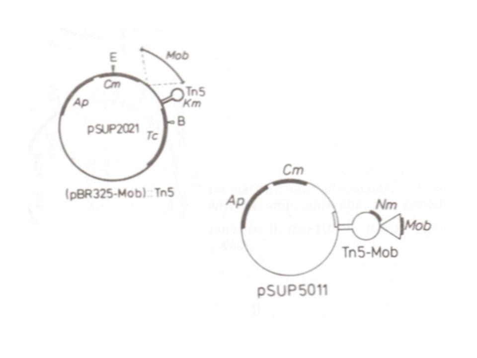 Integratieve klonering : Vector niet-repliceerbaar (zelfmoordplasmide) Circulair DNA : enkelvoudige homologe recombinatie Gelineariseerd DNA : dubbele homologe recombinatie (uitwisseling) Enkelvoudige recombinatie genereert een herhaling (dus ook instabiliteit) In vitro excisie met restrictie-enzym dat niet in oorspronkelijke construct knipt In vivo uitsplitsing identificeerbaar indien het replicon actief is (vgl.