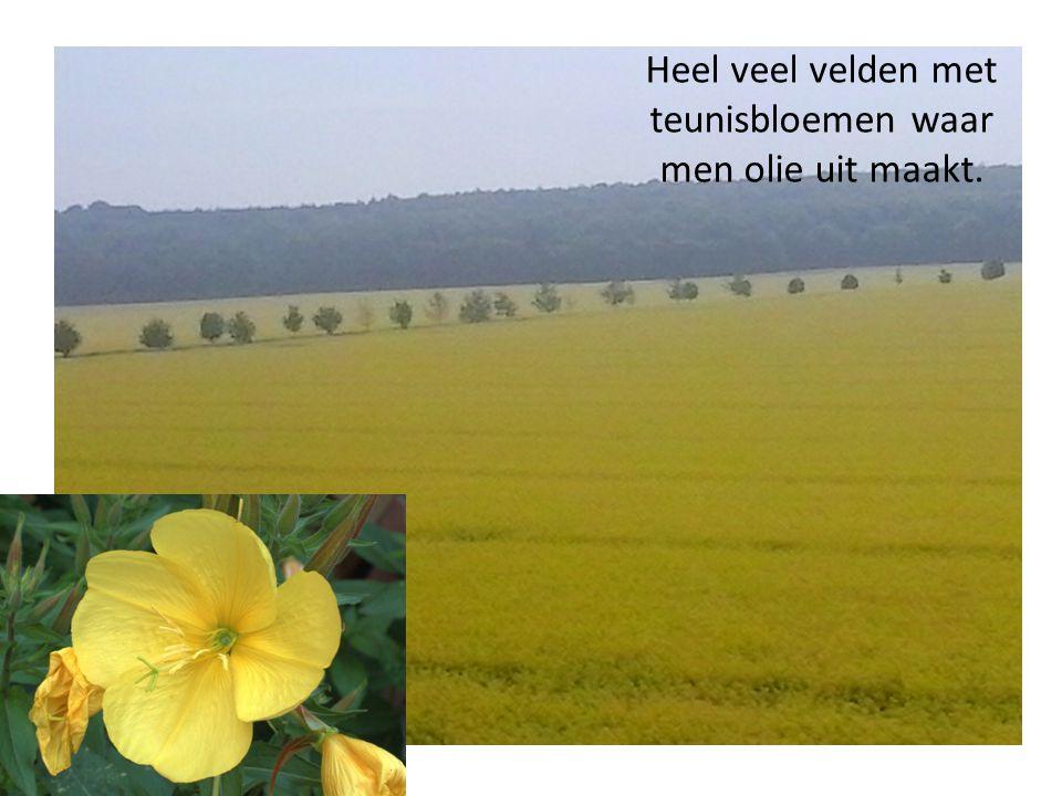 Heel veel velden met teunisbloemen waar men olie uit maakt.