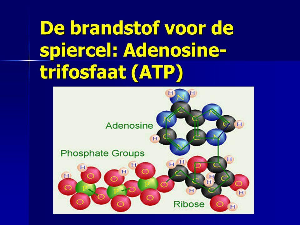 De brandstof voor de spiercel: Adenosine- trifosfaat (ATP)