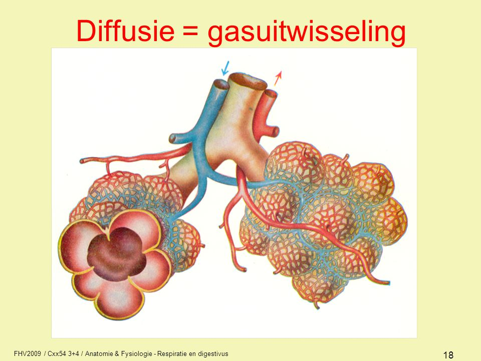 FHV2009 / Cxx54 3+4 / Anatomie & Fysiologie - Respiratie en digestivus 18 Diffusie = gasuitwisseling