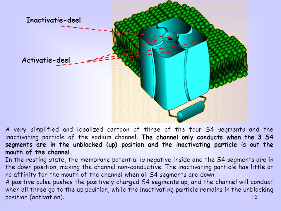 12 A very simplified and idealized cartoon of three of the four S4 segments and the inactivating particle of the sodium channel. The channel only cond
