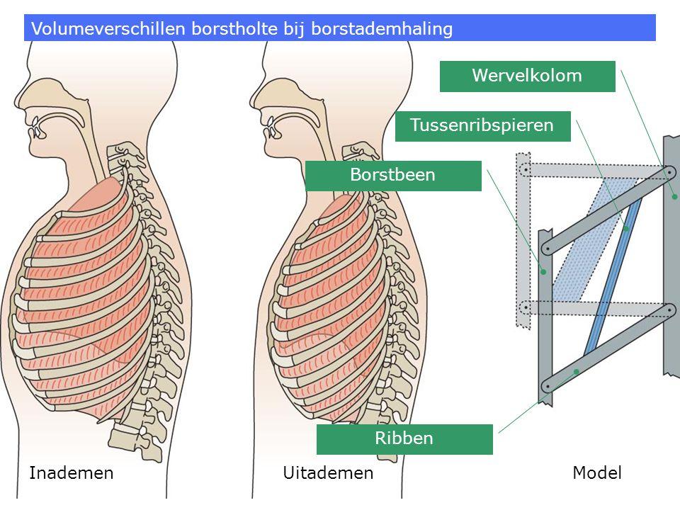 Inademen Uitademen Volumeverschillen borstholte bij borstademhaling Tussenribspieren Ribben Borstbeen Wervelkolom Model