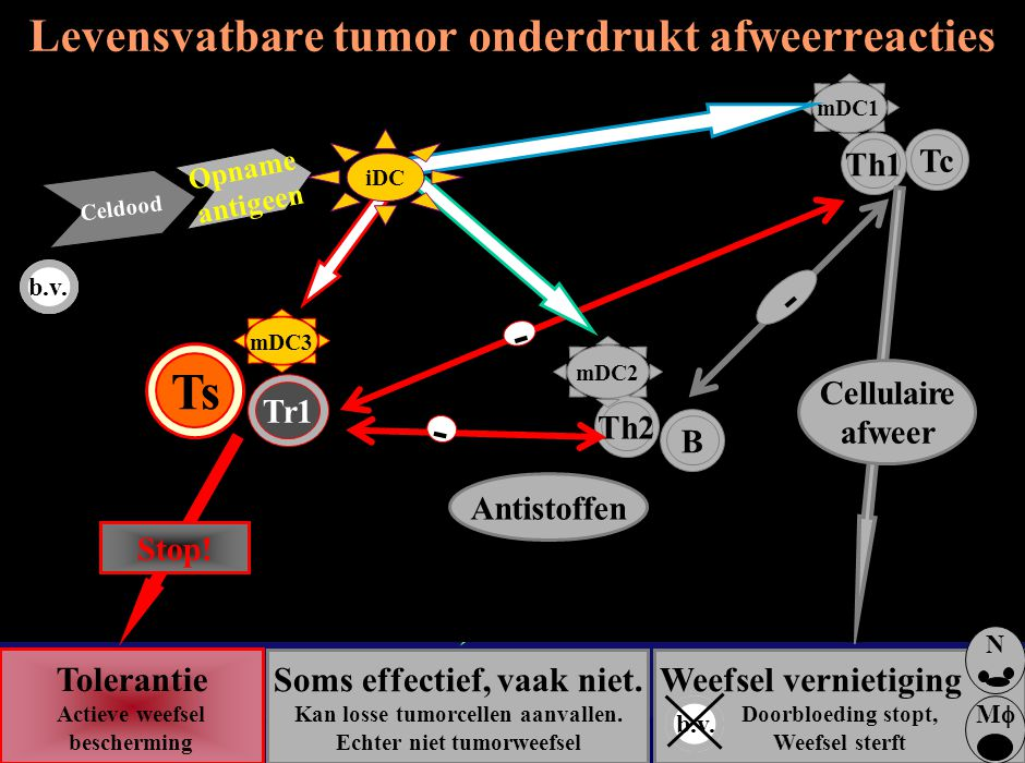 - - Weefsel vernietiging Doorbloeding stopt, Weefsel sterft b.v. MM N Celdood Opname antigeen b.v. Tolerantie Actieve weefsel bescherming Tr1 BTh2 T