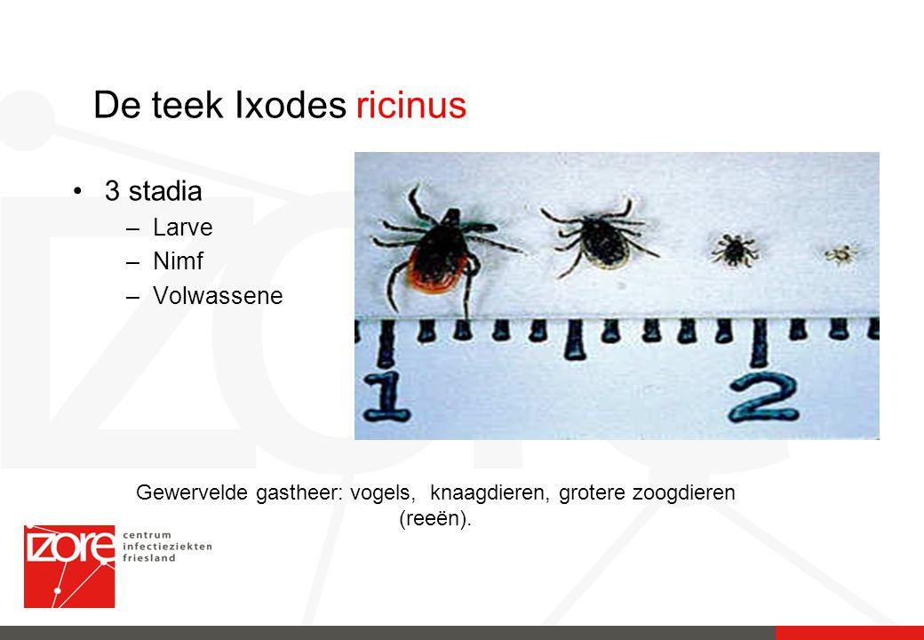 De teek Ixodes ricinus 3 stadia –Larve –Nimf –Volwassene Gewervelde gastheer: vogels, knaagdieren, grotere zoogdieren (reeën).