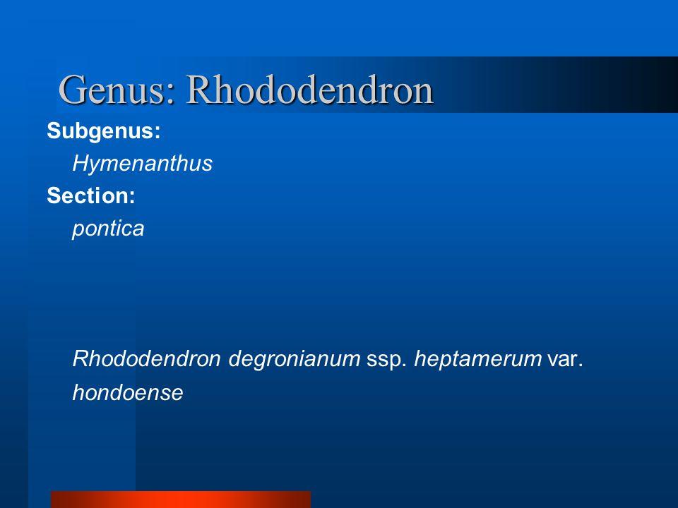 Genus: Rhododendron Subgenus:  Hymenanthus Section:  pontica  Rhododendron degronianum ssp. heptamerum var. hondoense
