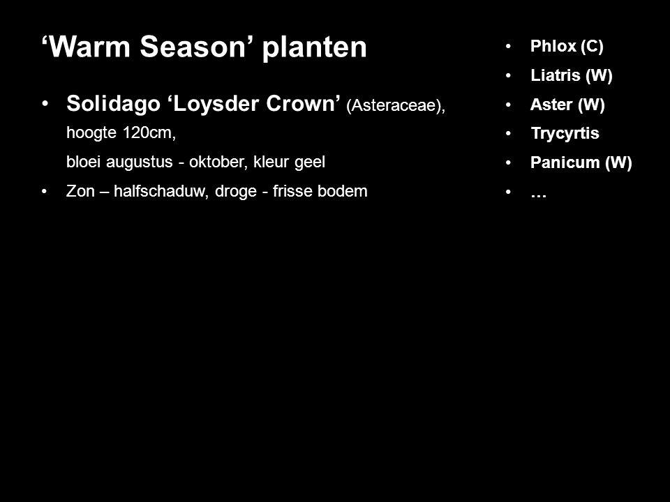 Solidago 'Loysder Crown' (Asteraceae), hoogte 120cm, bloei augustus - oktober, kleur geel Zon – halfschaduw, droge - frisse bodem 'Warm Season' planten Phlox (C) Liatris (W) Aster (W) Trycyrtis Panicum (W) …