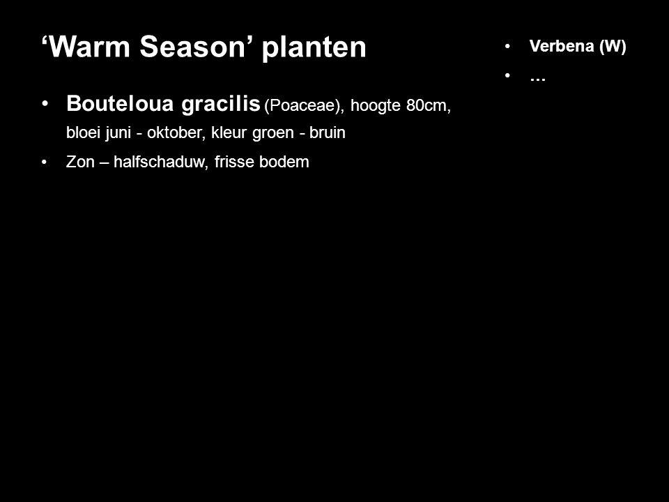 Bouteloua gracilis (Poaceae), hoogte 80cm, bloei juni - oktober, kleur groen - bruin Zon – halfschaduw, frisse bodem 'Warm Season' planten Verbena (W)