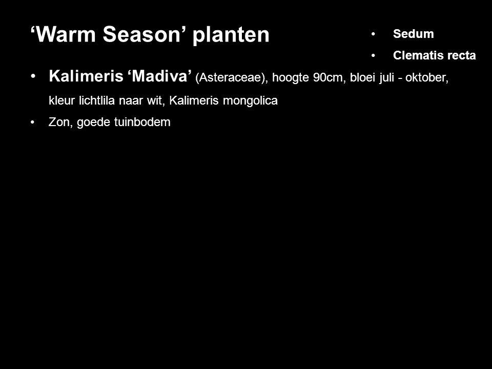 Kalimeris 'Madiva' (Asteraceae), hoogte 90cm, bloei juli - oktober, kleur lichtlila naar wit, Kalimeris mongolica Zon, goede tuinbodem 'Warm Season' planten Sedum Clematis recta