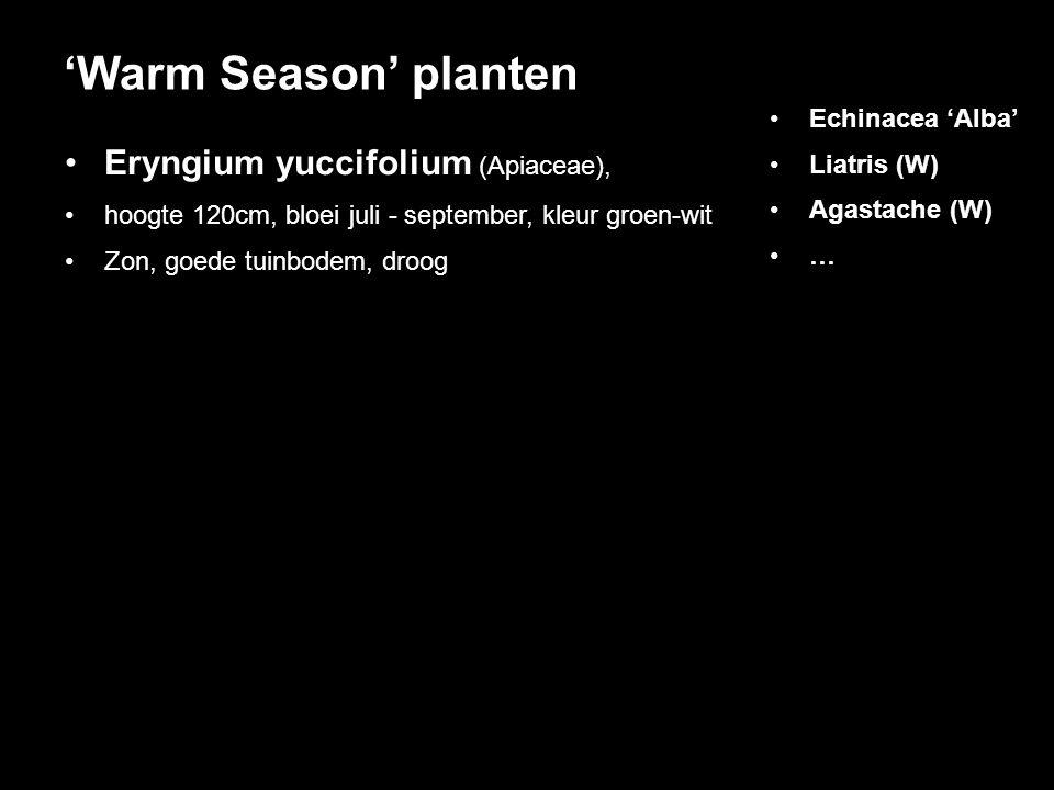 Eryngium yuccifolium (Apiaceae), hoogte 120cm, bloei juli - september, kleur groen-wit Zon, goede tuinbodem, droog 'Warm Season' planten Echinacea 'Al