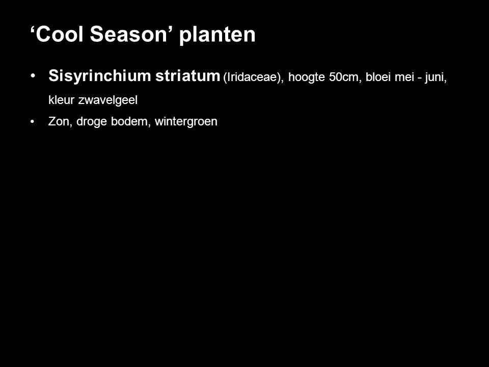 Sisyrinchium striatum (Iridaceae), hoogte 50cm, bloei mei - juni, kleur zwavelgeel Zon, droge bodem, wintergroen 'Cool Season' planten