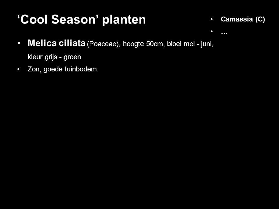 Melica ciliata (Poaceae), hoogte 50cm, bloei mei - juni, kleur grijs - groen Zon, goede tuinbodem 'Cool Season' planten Camassia (C) …