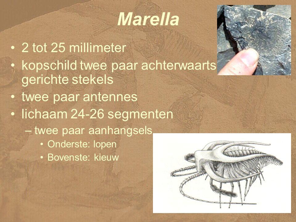Marella 2 tot 25 millimeter kopschild twee paar achterwaarts gerichte stekels twee paar antennes lichaam 24-26 segmenten –twee paar aanhangsels Onderste: lopen Bovenste: kieuw