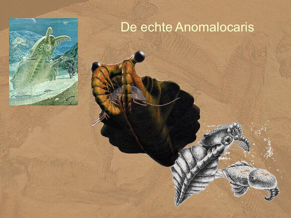 De echte Anomalocaris