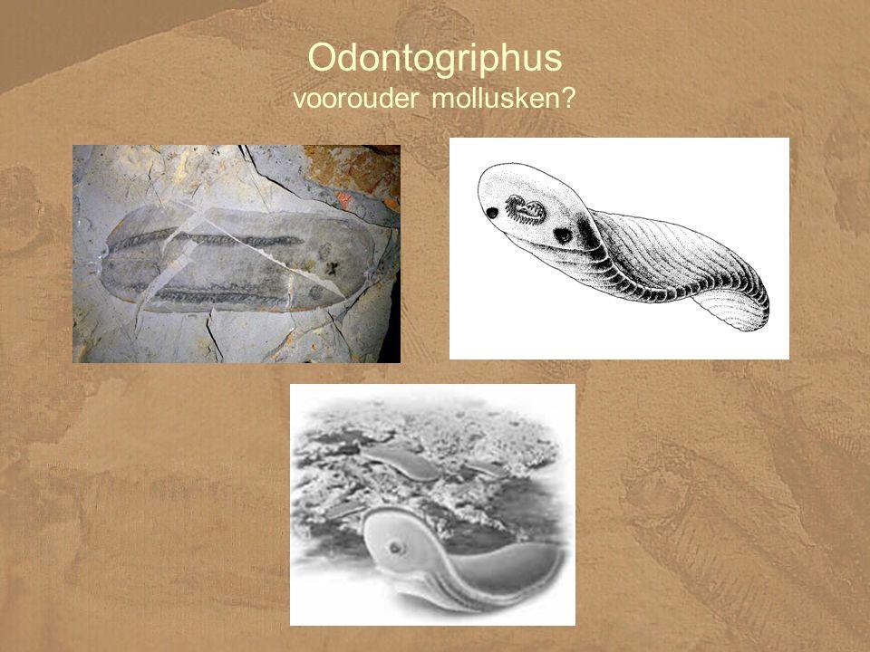 Odontogriphus voorouder mollusken?