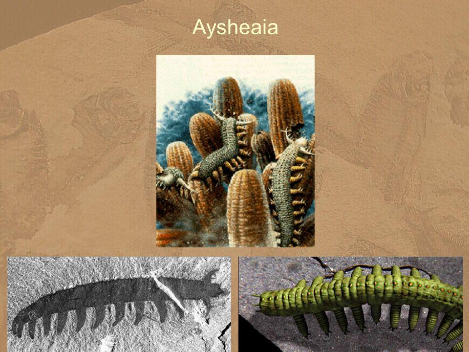 Aysheaia