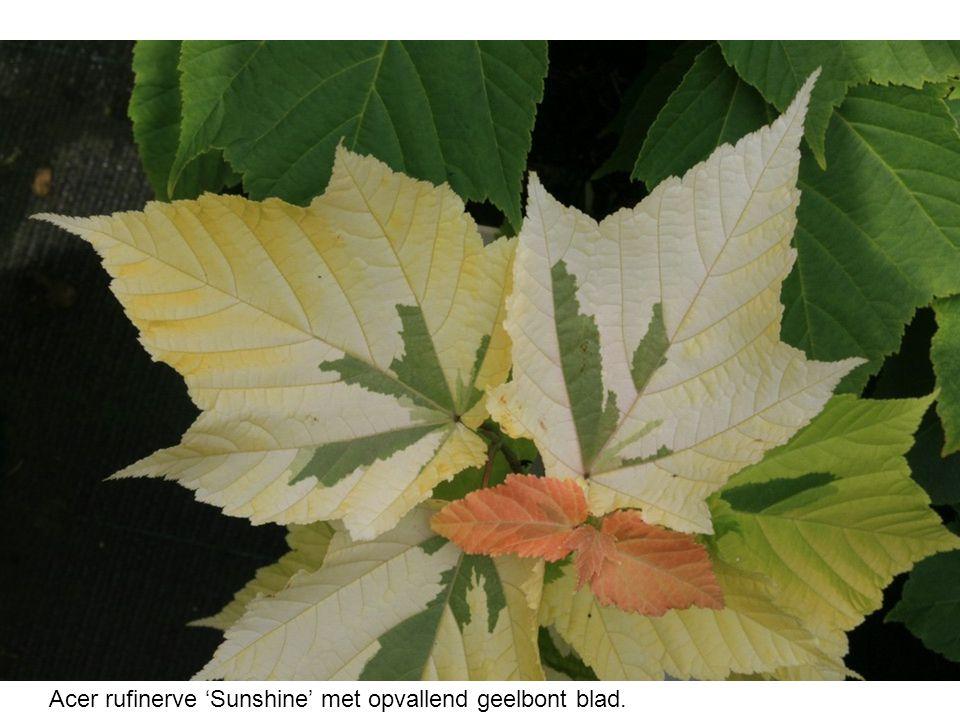 Acer rufinerve 'Sunshine' met opvallend geelbont blad.