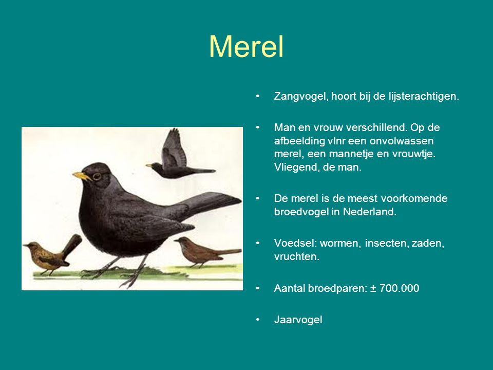 Merel Zangvogel, hoort bij de lijsterachtigen.Man en vrouw verschillend.