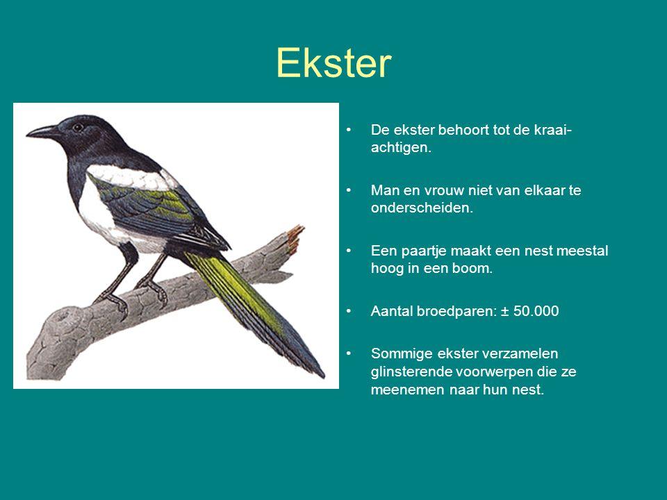 Ekster De ekster behoort tot de kraai- achtigen.Man en vrouw niet van elkaar te onderscheiden.