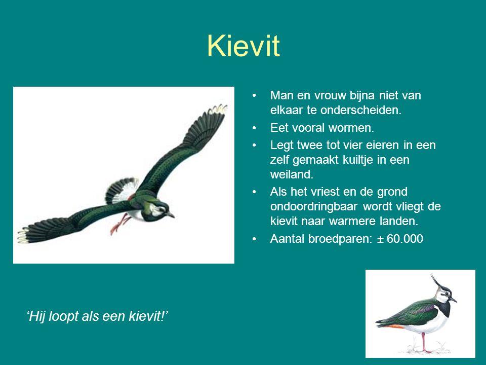 Kievit 'Hij loopt als een kievit!' Man en vrouw bijna niet van elkaar te onderscheiden.