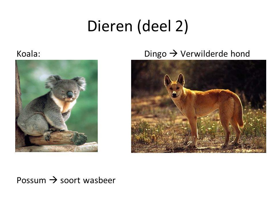 Dieren (deel 2) Koala:Dingo  Verwilderde hond Possum  soort wasbeer