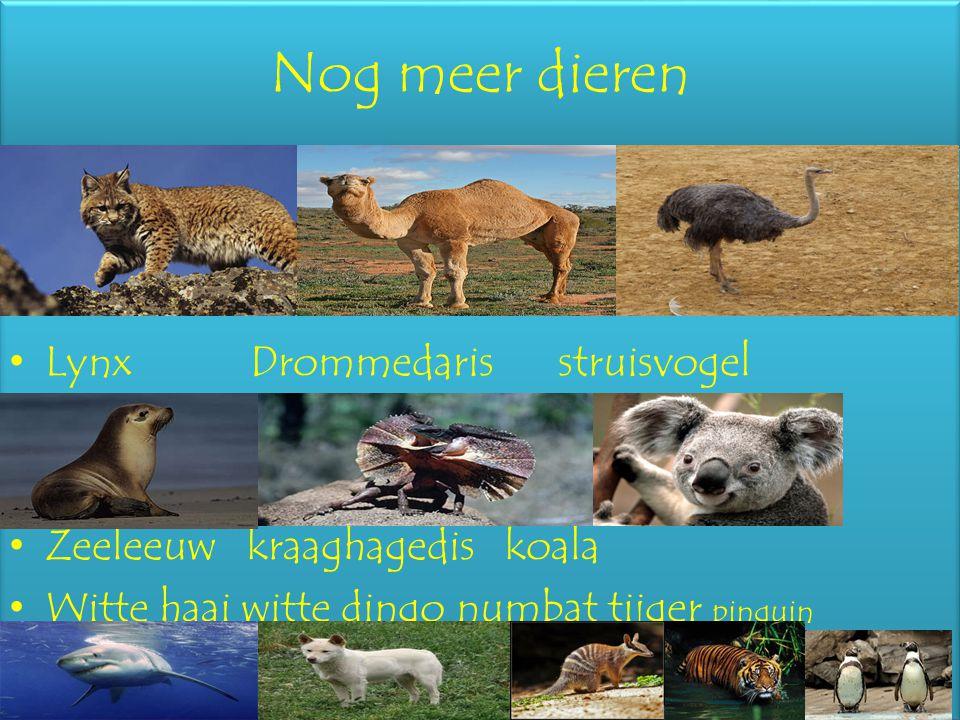 Nog meer dieren Lynx Drommedaris struisvogel Zeeleeuw kraaghagedis koala Witte haai witte dingo numbat tijger pinguin Lynx Drommedaris struisvogel Zee