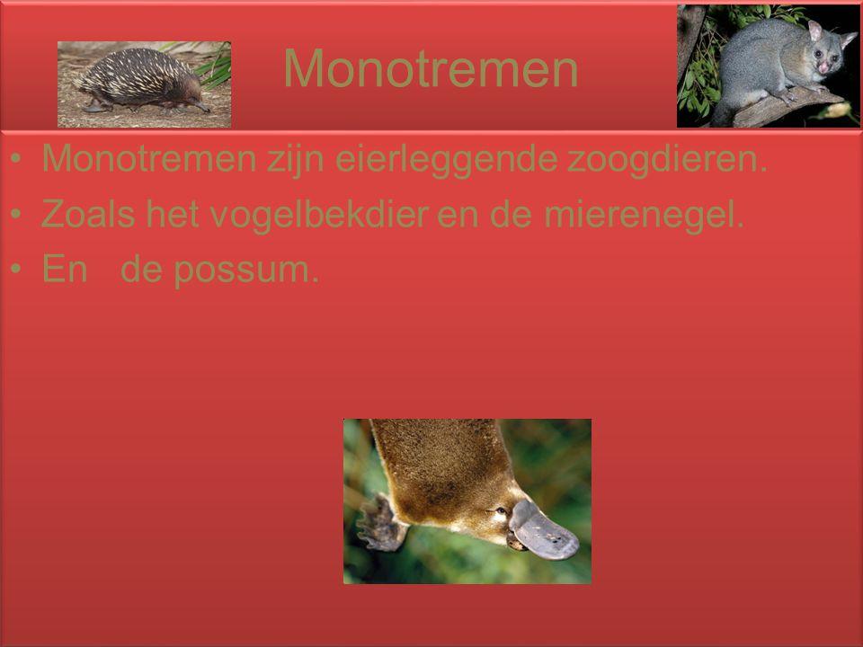 Monotremen Monotremen zijn eierleggende zoogdieren. Zoals het vogelbekdier en de mierenegel. En de possum. Monotremen zijn eierleggende zoogdieren. Zo