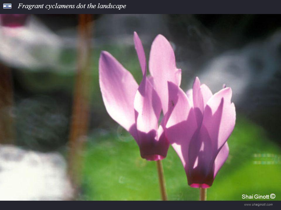 www.shaiginott.com Anemones bloom in Megiddo Forest Shai Ginott ©